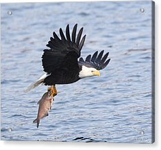 Flying Off With The Catch Acrylic Print by Gerry Sibell