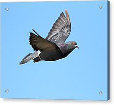 Flying Pigeon . 7d8640 Acrylic Print by Wingsdomain Art and Photography