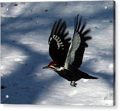 Flying Pileated Woodpecker Acrylic Print