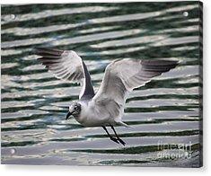 Flying Seagull Acrylic Print by Carol Groenen