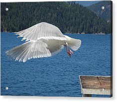 Flying Seagull Acrylic Print