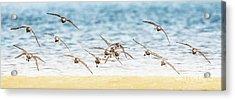 Flying Shore Birds Pano Acrylic Print
