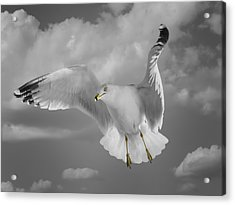 Flying Solo Acrylic Print by Steven  Michael