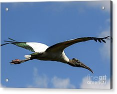 Flying Stork-no Baby Acrylic Print