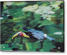 Flying Toucan In Costa Rica Acrylic Print