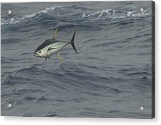 Acrylic Print featuring the photograph Flying Tuna by Bradford Martin