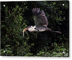 Acrylic Print featuring the photograph Flying With Lunch by Wade Aiken