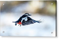 Acrylic Print featuring the photograph Flying Woodpecker by Torbjorn Swenelius