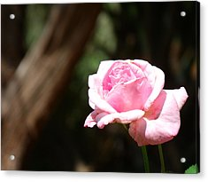 Focal Rose Acrylic Print by Stephen Williams
