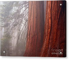 Fog In The Redwood Forest Sequoia National Park Acrylic Print