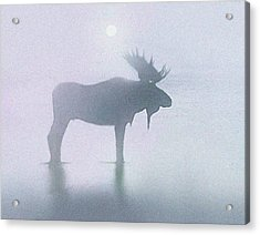 Fog Moose Acrylic Print by Robert Foster