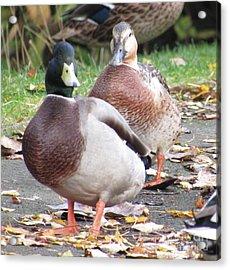 Quack..quack, Follow Me And I Follow You Later. Acrylic Print