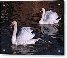 Follow Me - Pair Of Mute Swans - Wings Up Acrylic Print