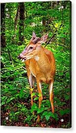 Foraging Deer Acrylic Print by Carolyn Derstine