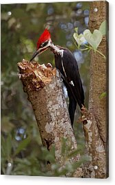 Foraging Pileated Woodpecker Acrylic Print by DigiArt Diaries by Vicky B Fuller