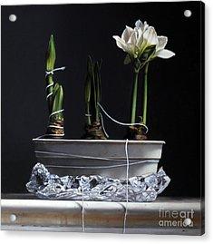 Forcing Amaryllis Acrylic Print by Larry Preston