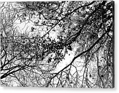 Forest Canopy Bw Acrylic Print