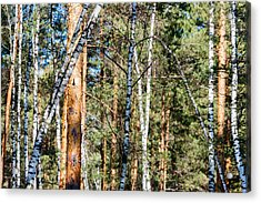 Forest, Full Of Birch And Pine Trees, Plays With Shadows  Acrylic Print by Sergey Orlov