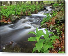 Forest Stream And False Hellabore In Spring Acrylic Print by John Burk