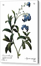 Forget-me-not Acrylic Print by Granger
