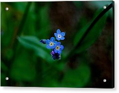 Forget Me Not  Acrylic Print by Marilynne Bull