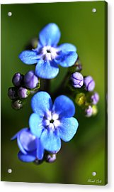 Forget-me-not Acrylic Print by Noah Cole