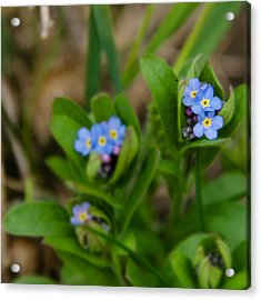 Forget Me Not Softly Acrylic Print