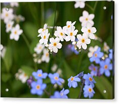 Forget Me Nots Acrylic Print