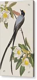 Fork-tailed Flycatcher  Acrylic Print by John James Audubon