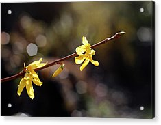 Acrylic Print featuring the photograph Forsythia Flowers by Helga Novelli