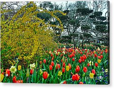 Acrylic Print featuring the photograph Forsythia Tulips And Daffadils by Diana Mary Sharpton