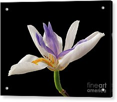 Fortnight Lily On Black Acrylic Print