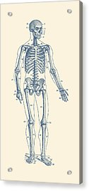 Forward Facing Skeletal Diagram - Vintage Anatomy Poster Acrylic Print