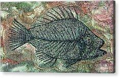Fossil Fish In Rock Acrylic Print by Deborah Wirsu