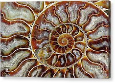 Fossilized Ammonite Spiral Acrylic Print