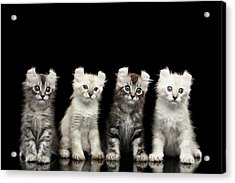 Four American Curl Kittens With Twisted Ears Isolated Black Background Acrylic Print