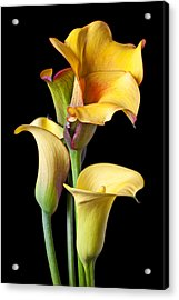 Four Calla Lilies Acrylic Print by Garry Gay