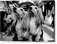 Four Dogs In A Stroller Acrylic Print
