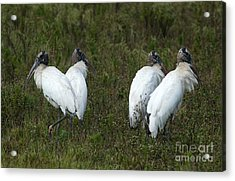 Four Juvenile Woodstorks Acrylic Print by Christiane Schulze Art And Photography