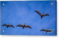 Four Pelicans Acrylic Print