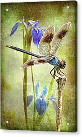 Four Spotted Pennant And Louisiana Irises Acrylic Print
