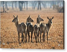 Four Waterbucks Acrylic Print by Johan Elzenga