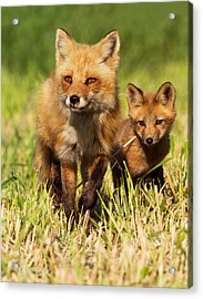 Fox Family Acrylic Print