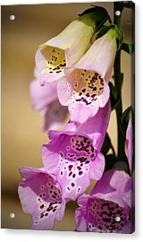 Fox Gloves Acrylic Print by Bill Cannon