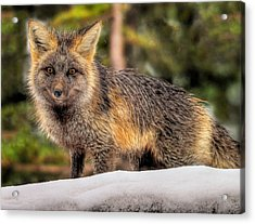 Fox Hunting In The Snow Acrylic Print by Paul W Sharpe Aka Wizard of Wonders