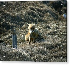 Fox In The Wind Acrylic Print by Anthony Jones