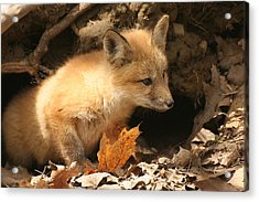 Acrylic Print featuring the photograph Fox Kit At Entrance To Den by Doris Potter
