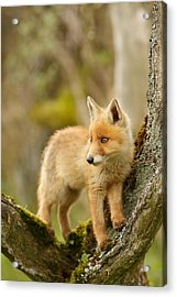 Fox Kit In A Tree Acrylic Print by Roeselien Raimond