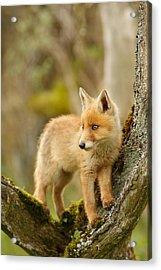 Fox Kit In A Tree Acrylic Print