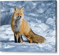 Fox On A Winter Afternoon Acrylic Print